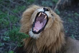 Come un leone ruggente